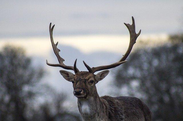deer on trail camera